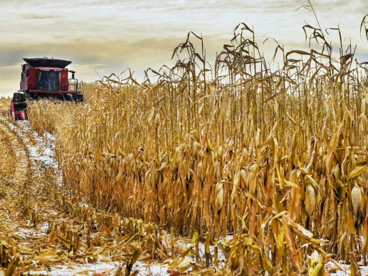Learn some of the things that affect corn yield